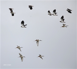 Lapwing and Black Tailed Godwits