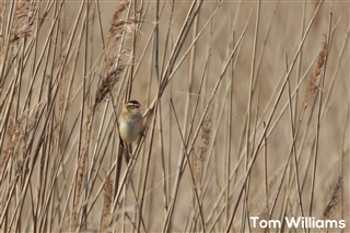 Singing Sedge Warbler, a migrant from Sub-Saharan Africa