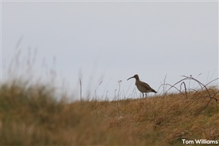 Whimbrel in the dunes