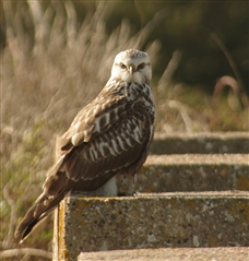 Rough-legged buzzard by Malcolm James. This one was seen in the dunes a few years ago