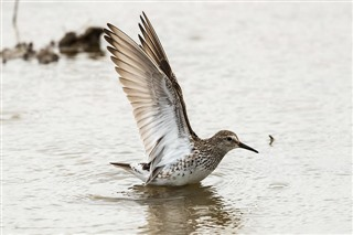 White-rumped sandpiper, by Ian Bollen