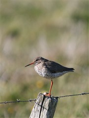 Redshank stood on a fence post