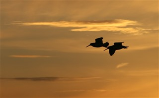 Two oystercatchers in flight silhouetted against orange sky