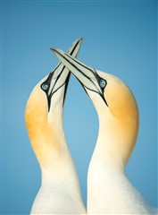 gannets sky-pointing, Ben Andrew, RSPB Images