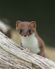 Upright stoat leaning/behind small tree trunk