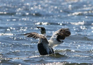 Eider flapping