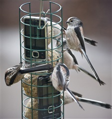 Long tailed tit group of birds on a bird feeder