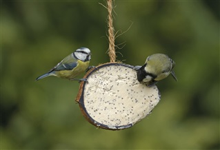 Blue tit and great tit  on RSPB coconut treat feeder