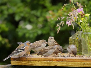 House sparrow flock feeding on seed on bird table, with male chaffinch