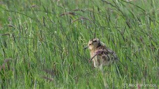 Curlew chick in long grass