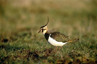 Lapwing. Photo credit Chris Gomersall (rspb-images.com)
