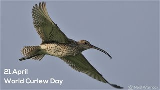 Curlew in flight wings outstretched against a clear blue sky