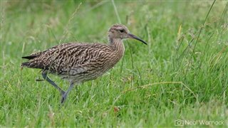 Curlew standing in a grassy field