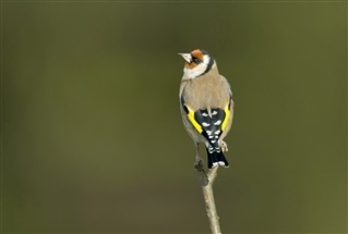 Goldfinch - John Bridges (rspb-images.com)