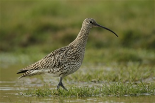 Curlew, photo credit Andy Hay (rspb-images.com)