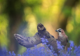 Bluebells and jay
