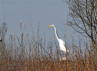Is this a Great White Heron or Egret