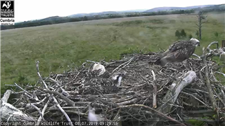 The lovely people at Foulshaw have gone over to the wider view for fledging etc
