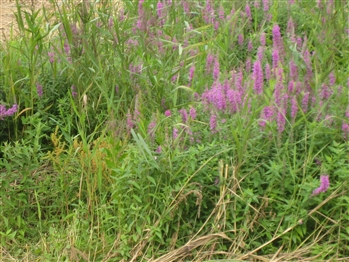 Golden Dock and Purple Loosestrife