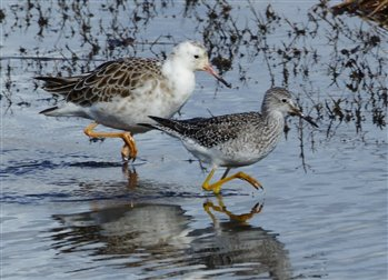 Ruff and Lesser Yellow Legs