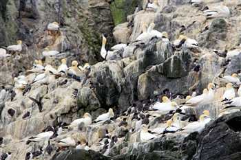 Northern Gannets and Common Guillemots - Grassholm Island