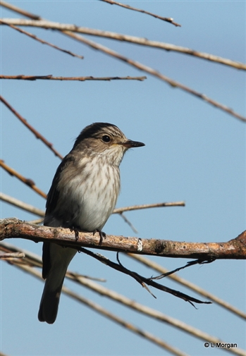 Spotted Flycatcher - Ramsey