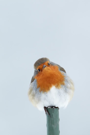 Robin perched on garden stake - snowy scene. Photo by Mark Sisson (rspb-images.com)