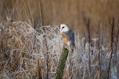 Threats barn owls face in winter - Scottish Nature Notes ...