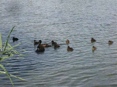 Tufted Duck and 10 chicks