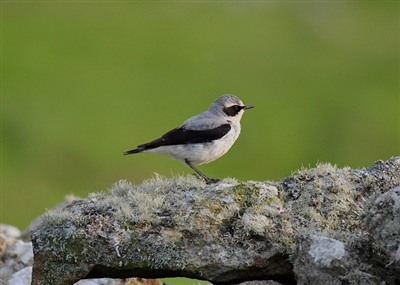 Northern Wheatear - A Crowder