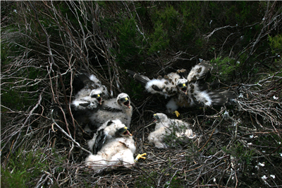 Hen Harrier chicks. Photo by Mick Demain