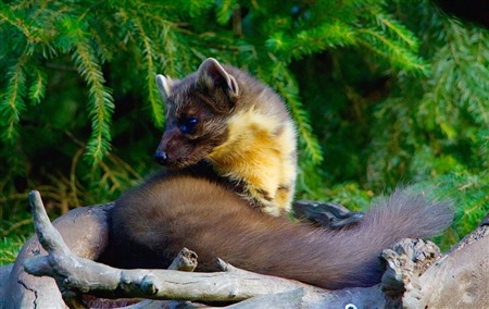 pine marten curled up on some sticks