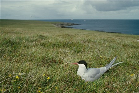 Arctic tern sitting in a field by the coast