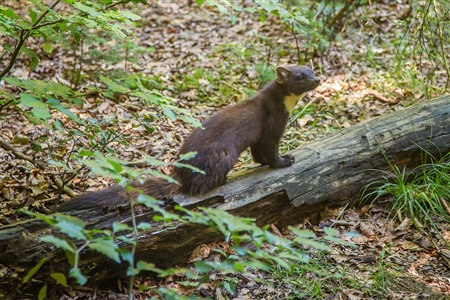 pine marten on forest floor