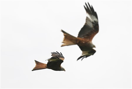 two red kites in flight
