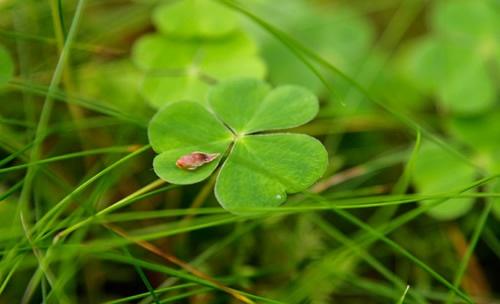 Close up of a sorrel leaf.