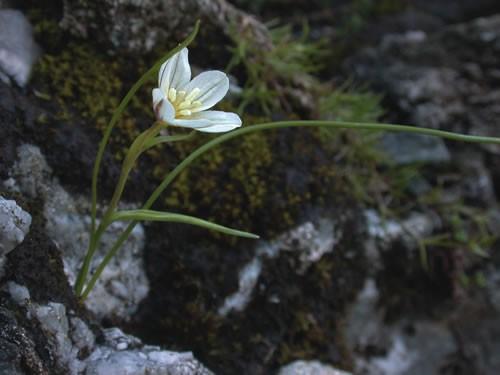 Snowdon lily - image by Mark Gurney (RSPB)