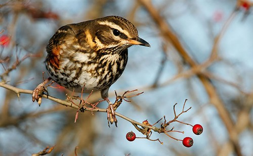 Redwing by Nigel Blake