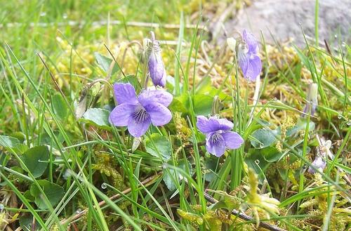 Dog violets at Muirshiel