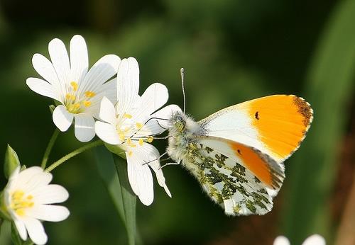 Orange tip feeding on a greater stitchwort flower