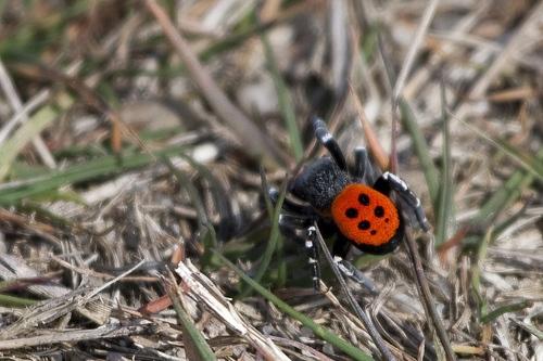 Ladybird spider. Image by Maarten Bos. http://www.flickr.com/photos/maartenbos/