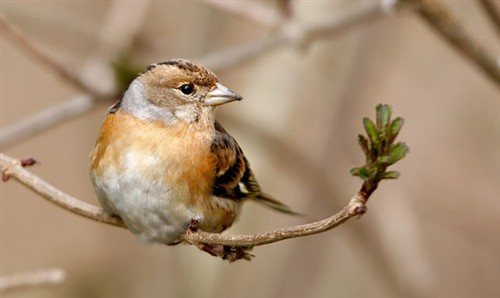 Brambling by Nigel Blake