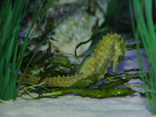 Spiny seahorse Jeff Whitlock - http://www.flickr.com/photos/jeffwhitlock)