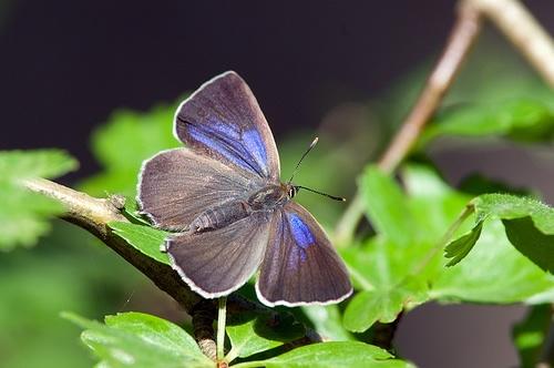Female purple hairstreak on oak leaf.