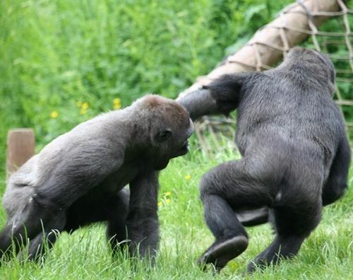 Pin Gorillas Fighting on Pinterest