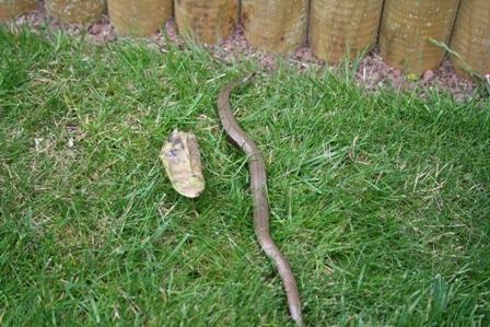 Slow worm in the garden :-) - Wildlife in the garden - Homes for ...