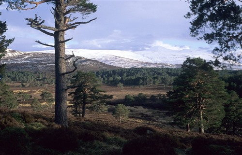 View of Abernethy Caledonian Pines with Cairngorms mountains in background