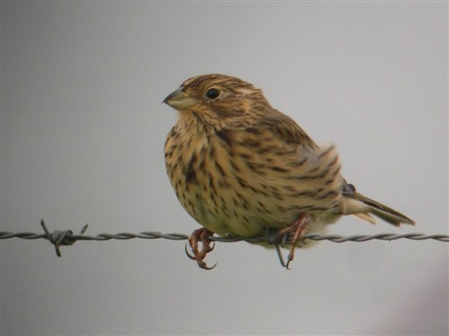 corn bunting perched on fencing wire
