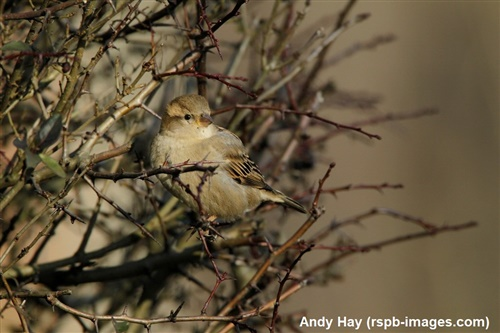 Female house sparrow amongst branches