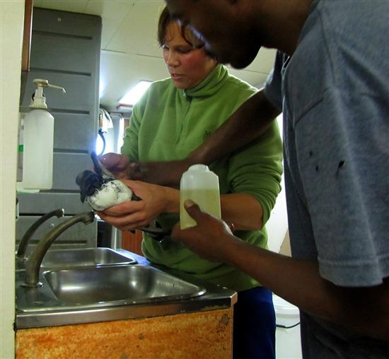 Cleaning Pintado petrels. Lisa Mansfield